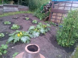 Squash and Courgettes .. Last year this space was a huge compost heap and nettle patch which hubby cleared behind the shed.