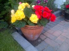 Beautiful Begonias