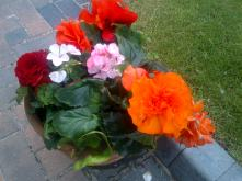 Begonias and Geraniums