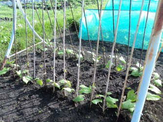 The Kidney Beans are now in. and growing nicely