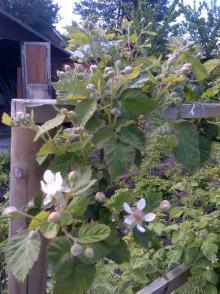 Loganberries in flower
