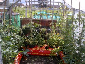 Tomatoes in the Allotment