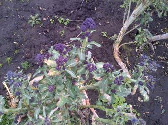 We are still getting Purple sprouting broccoli Which has been delicous