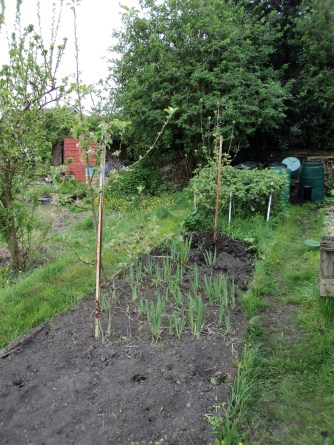 Two apple trees and blackberries at the end. The green shoots are gladioli from the small corms left in the ground. I have left in to see how they mature.