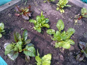 Rainbow Chard. Young leaves can be used in Salads too. as can the young beetroot leaves .