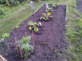 Courgettes. ( these have this week taken a battering in high winds and not looking so good as first planted )