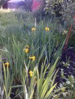 Self set from seeds -Yellow Iris