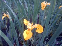 Yellow Iris Closer view
