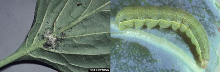 Beet Armyworms