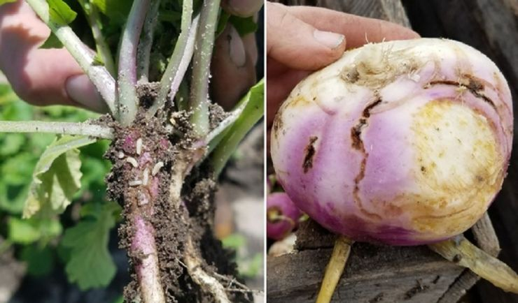 Cabbage Worms - 35 Harmful Farm Insects To Watch Out For