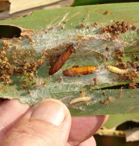 Harmful Farm Insects - Natural Ways to Get Rid of Leafrollers