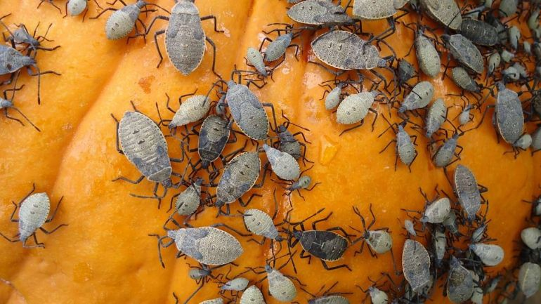 Squash Bugs - 27 Solutions to Get Rid of Bugs on Plants Naturally