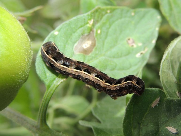 Yellowstriped (Spodoptera ornithogalli)