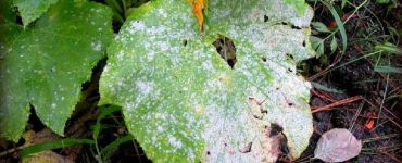 Powdery Mildew - Types of Plant Diseases and How to Treat Them Naturally