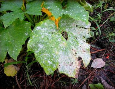 Natural Ways to Get Rid of Powdery Mildew on Plants