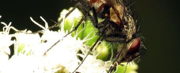 Tachinid Fly Garden Benefits and How to Attract Them