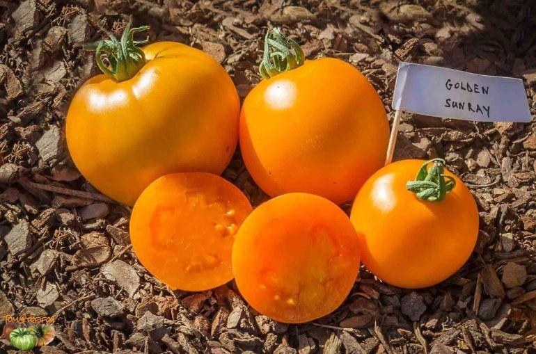 Golden Sunray - Types of Tomatoes (Varieties)