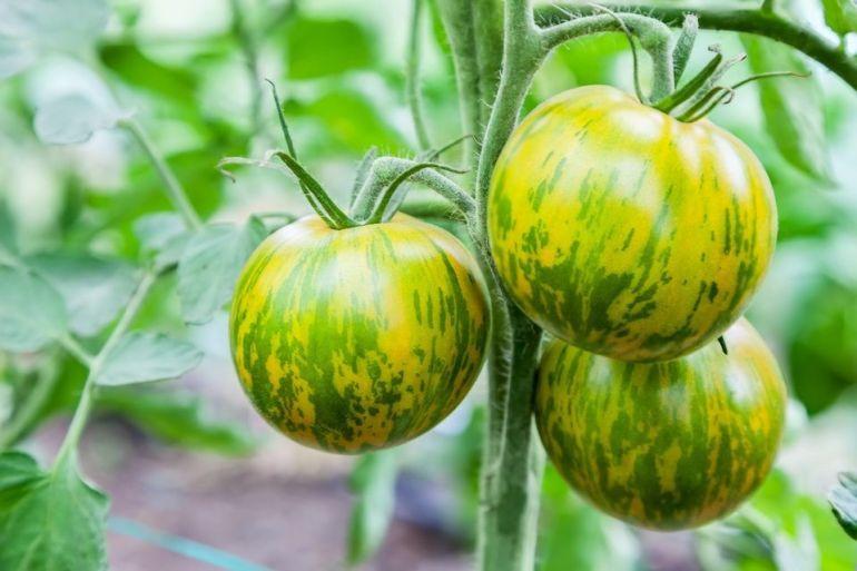 Green Striped Zebra tomato