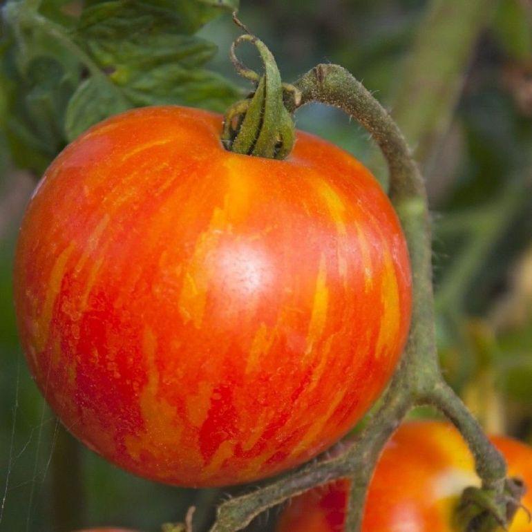 Mr. Stripey tomato