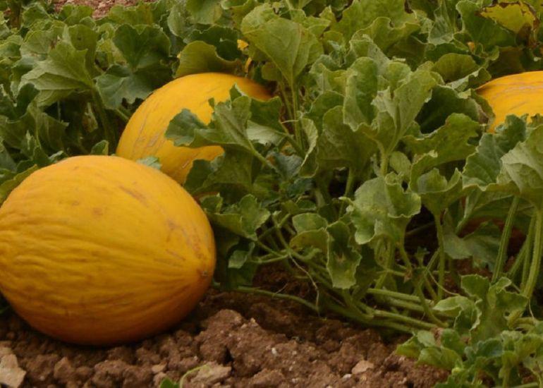 Amarillo Oro - Types of Melon