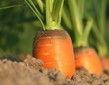 Companion Planting Carrots: Helpful and Harmful Neighbors