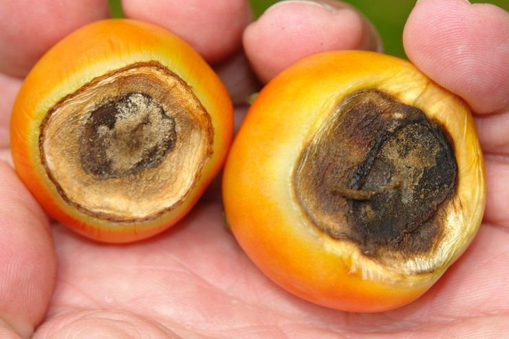 Tomato Blossom End Rot - Tomato Diseases and How to Treat Naturally (+ Pictures)-