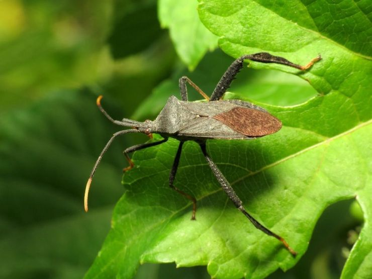13 Natural Ways to Get Rid of Leaf-Footed Bugs (Leptoglossus)