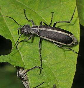10 Natural Ways to Get Rid of Blister Beetles in Garden