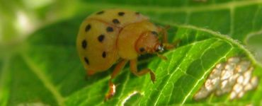 13 Natural Ways to Get Rid of Mexican Bean Beetles