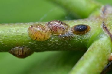 10 Natural Ways to Get Rid of Scale Insects on Plants