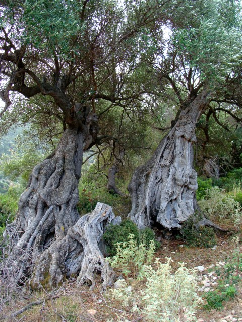 very old olive tree in Agni