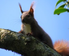 a meddlesome squirrel in our apple- tree