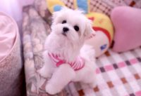 TEACUP DOG CLOTHES | Dress The Dog - clothes for your pets!