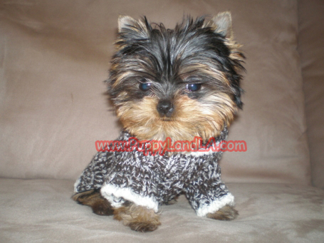 Cute Chihuahua Puppies Wallpaper Teacup Yorkie Sweaters Dress The Dog Clothes For Your Pets