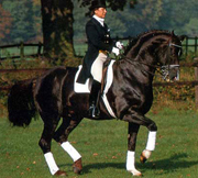 dressage horse in piaffe