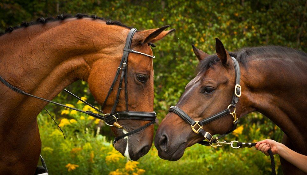 Trouver votre cheval de dressage