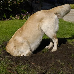 Comment gérer un chien qui creuse ? Les solutions …