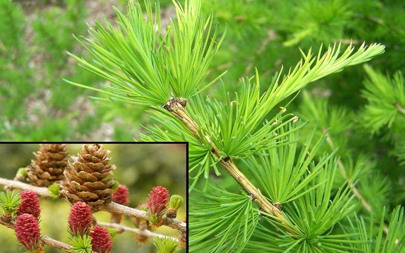 สิ่งที่ Larch ดูเหมือนว่า: ลักษณะของต้นไม้และรูปถ่ายของเขา
