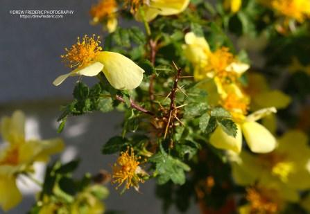 Yellow_Roses_IMG_1469