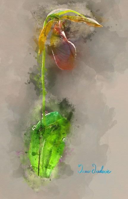 Lady Slipper watercolor C MG_6939