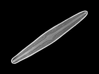 Brachysira subtile, one of four diatom species from a lake in eastern Siberia described by Potapova with collaborators P.B. Hamilton and L.I. Kopyrina. The others are Eunotia frigida Potapova, Hamilton & Kopyrina, Encyonopsis vasilievae Potapova, Hamilton & Kopyrina and Neidium rugosum Hamilton, Potapova & Kopyrina.