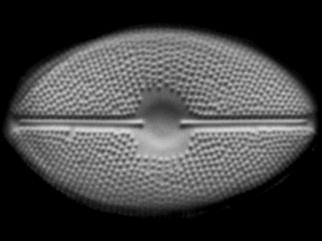 Cavinula maculata, a diatom species from North America described by Potapova with collaborators A. Cvetkoska, P.B. Hamilton & Z. Levkov. This team also identified Cavinula kernii Cvetkoska, Hamilton, Levkov & Potapova as part of the same study of the distribution of this genus of diatoms.