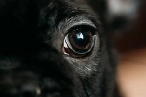 Close Up Eye Of Young Black French Bulldog Dog Puppy