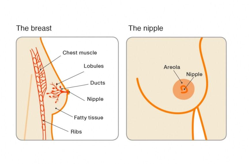 breast_nipple_illustration_0