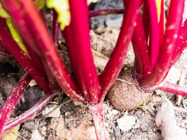 Garden Update - Beets