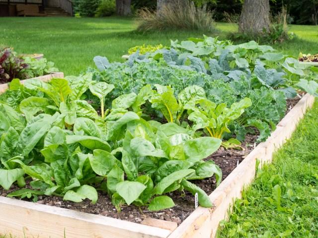 Garden Update - Chard