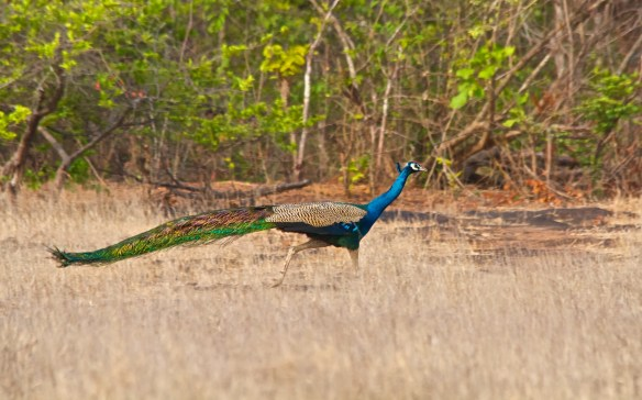 Peacock at Socorro Plateau, North Goa