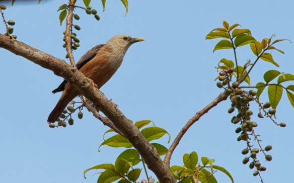 Chestnut Tailed Starling, Socorro Plateau, North Goa