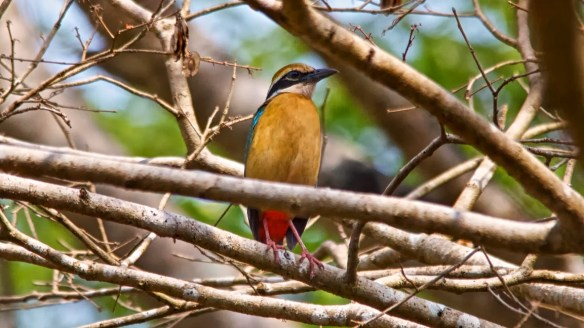 Indian Pitta Bird, Socorro Plateau, North Goa