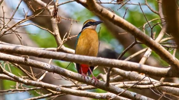 Indian Pitta Bird, Socorro Plateau, North Goa